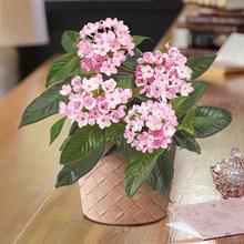 お歳暮 におい桜「ココ」