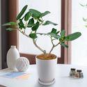 観葉植物「ベンガルボダイジュ」