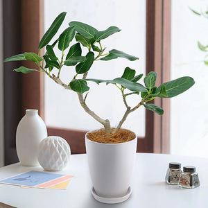 観葉植物「ベンガルボダイジュ」の商品画像
