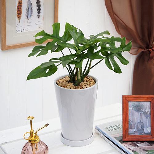 観葉植物「ヒメモンステラ」ホワイトポット