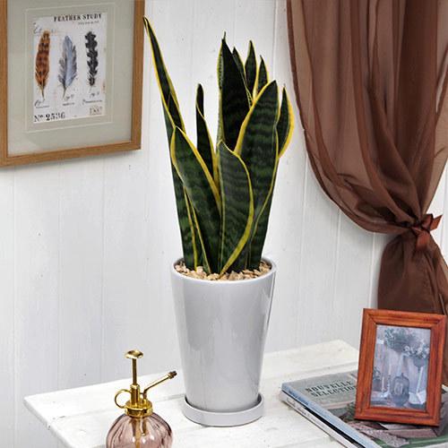 観葉植物「サンスベリア」ホワイトポット