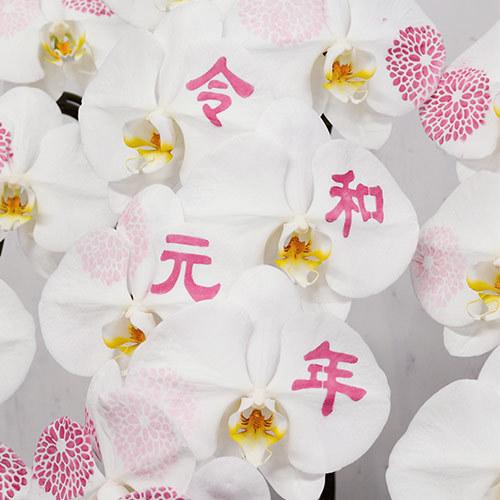 胡蝶蘭「日比谷花壇デザイナーズ化粧蘭(KIKU・REIWA)」
