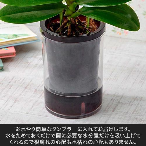 お手入れかんたんミディ胡蝶蘭L「カーリー」(緑陶器)