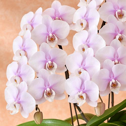 季節の蘭鉢 ミディ胡蝶蘭「クレール」3本立ち