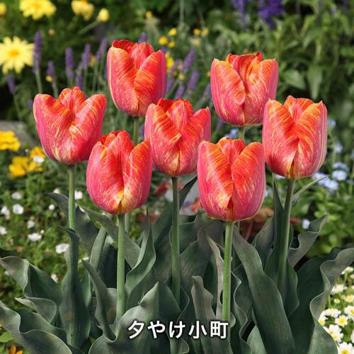 富山県産 富山オリジナルチューリップ球根春爛漫セット
