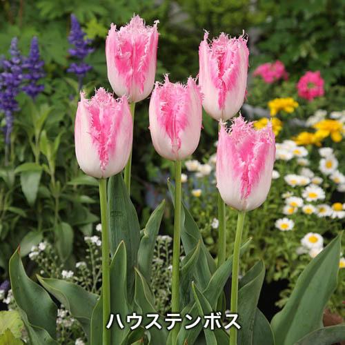 富山県産 人気切り花チューリップ球根セット