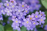 4月18日ワスレナグサの画像